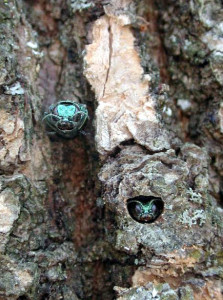 Emerald Ash Borers emerging from tree