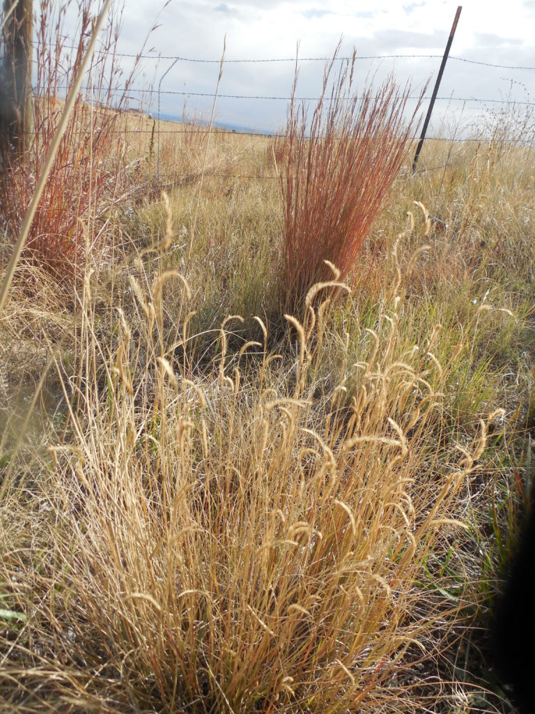 Two types of native grasses