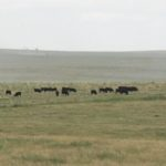 Landscape view of a pasture with cattle