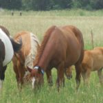 Four horses grazing in a pasture