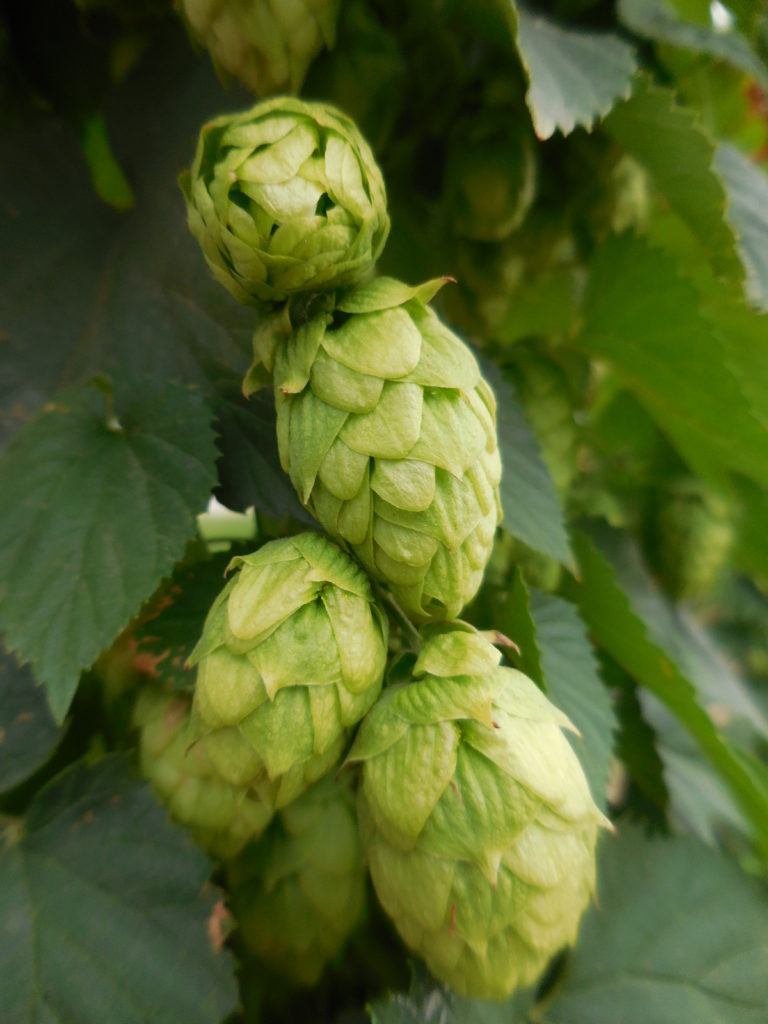 Close up of hops flower
