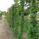 Hops growing upwards in research garden