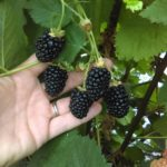 Triple Crown Blackberries on the vine