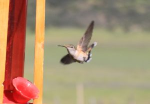 Hummingbird flying towards a hummingbird feeder