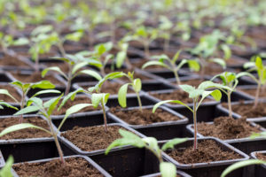 Rows of tomato seedlings lined up in rows