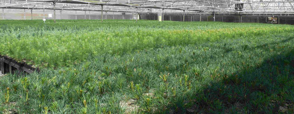 Saplings in Nursery
