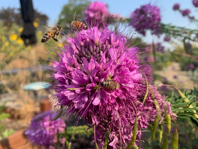 Cleome with bees