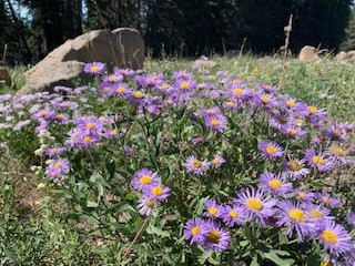 Colorado native aster